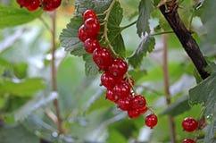 Bush-rode aalbes De zomerbessen royalty-vrije stock afbeeldingen