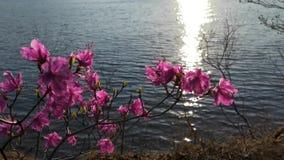 Bush rosa rhododendron på bakgrunden av vattenyttersidan arkivfilmer