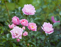 Bush rose Stock Images