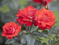 Bush rose Royalty Free Stock Photo