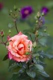 Bush rose Stock Image