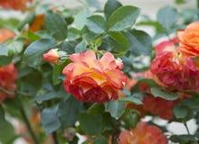 Bush rose Royalty Free Stock Photos