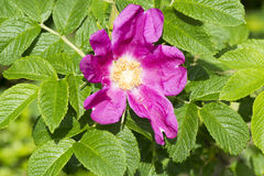 Bush rose Stock Images
