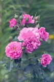 Bush rose. Delicate pink roses in the garden. Selective focus.  Stock Images