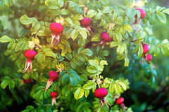 Bush of rose hip with bright ripe berries Stock Images