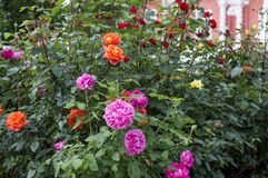 Bush Rose Plaited Flammentanz. Summer garden with bushes of different varieties of roses. Close-up stock photography