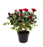 Bush rose in a pot isolated on white background Royalty Free Stock Photos