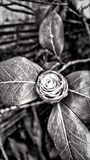 Bush Rose. Ugly bush rose Stock Photo
