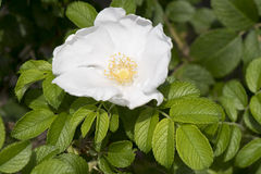 Bush rose white Stock Image
