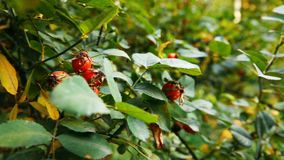 Bush of the Rosehip. This video shows Bush of the Rosehip stock footage