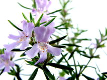 Bush Rosemary Flowers Stock Photo