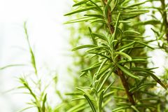 The bush of rosemary on a white background. Space for text stock photos