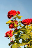 Bush roses against the sky (natural background for greeting card Royalty Free Stock Photo