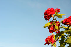 Bush roses against the sky (natural background for greeting card Royalty Free Stock Image