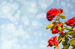 Bush roses against the sky (natural background for greeting card Stock Photography