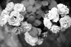 Bush roses in bloom symmetrical. Beautiful black and white bush roses in bloom on leaves background Stock Photos