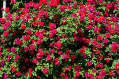 Bush of roses on bright Stock Image