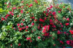 Bush of roses on bright Stock Photos