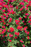 Bush of roses on bright Royalty Free Stock Images
