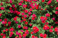 Bush of roses on bright Stock Photos