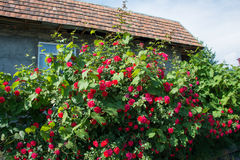 Bush of roses on bright Stock Images