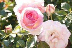 Bush roses Stock Images