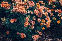 Bush of yellow, red and pink roses royalty free stock photos