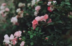 Bush of roses in the garden Stock Images