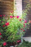 A bush of roses grows on a flower bed near a fence at a country house. Vertical photograph royalty free stock images