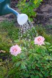 Watering a bush of roses from a watering can. Bush of roses are watered with water from a plastic watering can in the garden Stock Photography
