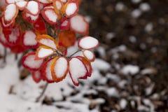 Bush rouge avec la neige 3 Images stock