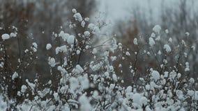 Bush rozgałęzia się w zimie w śniegu zbiory