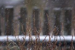 Bush rozgałęzia się z cynaderkami podczas opadu śniegu Fotografia Royalty Free