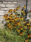 Bush-Rudbeckia auf Backsteinmauerhintergrund stockfotos