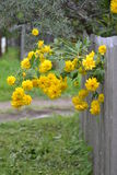 Bush-Rudbeckiazaun stockfoto