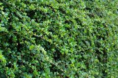 Bush ruvido siamese; Fondo di verde dell'albero dello spazzolino da denti Fotografie Stock