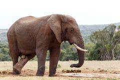 Bush słoń krzyżuje jego iść na piechotę przy podlewanie dziurą Fotografia Royalty Free