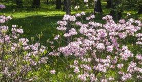 Bush Sakura de floraison Photo libre de droits