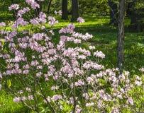 Bush Sakura de floraison Images stock