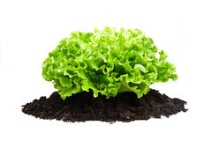 Bush of salad on soil humus bed isolated Royalty Free Stock Image