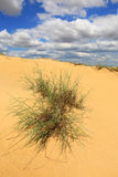 Bush in sand desert Stock Images
