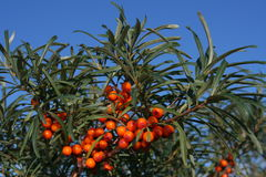 Bush of sea-buckthorn berries Stock Images