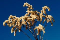 Bush seco após o inverno Foto de Stock