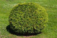Bush shaped ball. Green bush shaped ball on the clovers background Stock Image