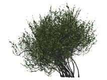 Bush or shrub. 3D illustration of thick shrubbery, bush or treetop on white background royalty free stock image