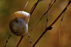 In the bush. Side of wild brown snail gastropoda  phyla minori on a brown branch  in the bush Royalty Free Stock Images