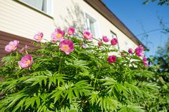 A bush of simple, pink peonies blooms in the garden, against the background of the house. A flower of a pink peony. bush of simple, pink peonies blooms in the Royalty Free Stock Images