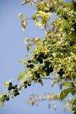 bush sloe Стоковое Фото
