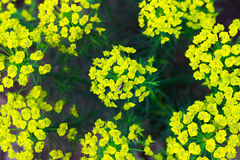 Bush with small flowers. Shrub with small yellow-green flowers. View from above. Spring flowering Stock Photography