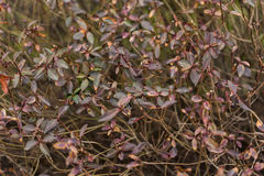 Bush with small leaves background texture Royalty Free Stock Photo